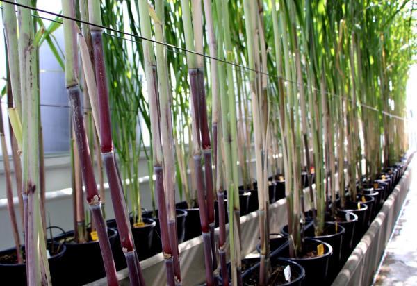 The Visacane sugarcane quarantine facility © C. Dangléant, CIRAD
