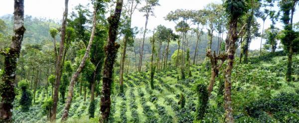 Caféiers cultivés en agroforesterie au Nicaragua ©E. Penot, Cirad