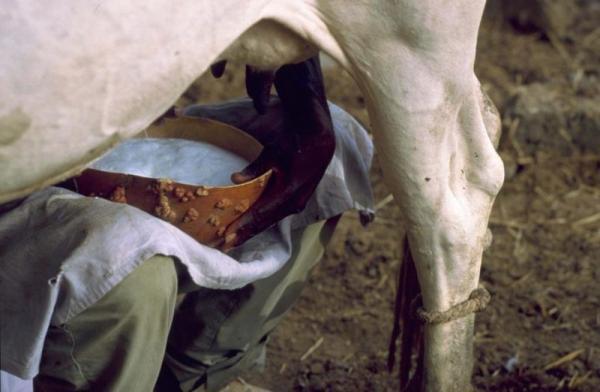 En Afrique de l'Ouest, seulement 1 à 7 % du lait produit localement est collecté par les industries laitières de la région. Les coûts élevés de collecte, dus notamment au manque d'infrastructures de transport, ne permettent pas au lait local de rivaliser avec les prix très compétitifs des poudres lactées européennes © E. Daou, Cirad