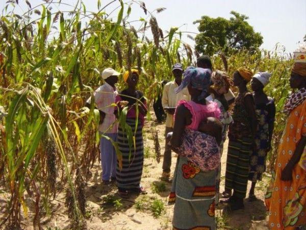 Sélection participative du Sorgho au Burkina Faso © G. Trouche, Cirad