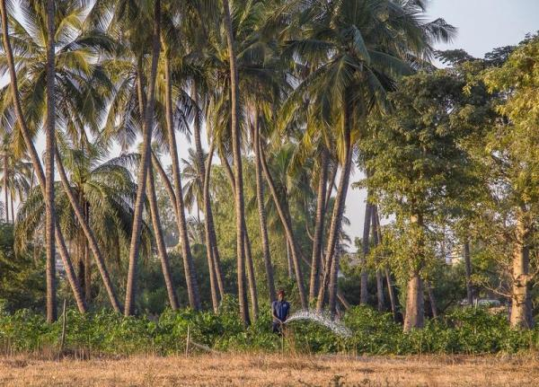 A field cultivated in agroforestry in Senegal © R. Belmin, Cirad