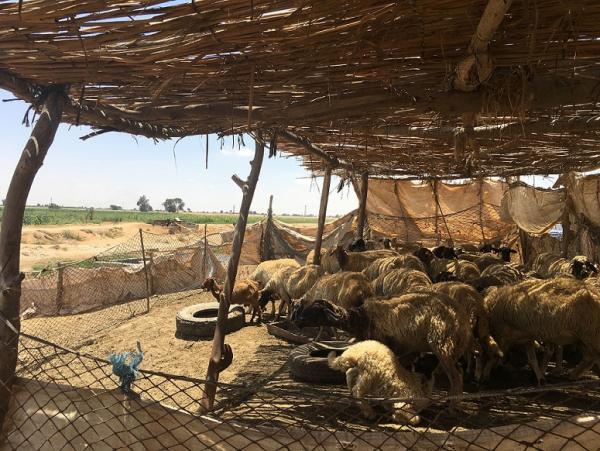 Troupeau de petits ruminants, Egypte © S. Messad, Cirad