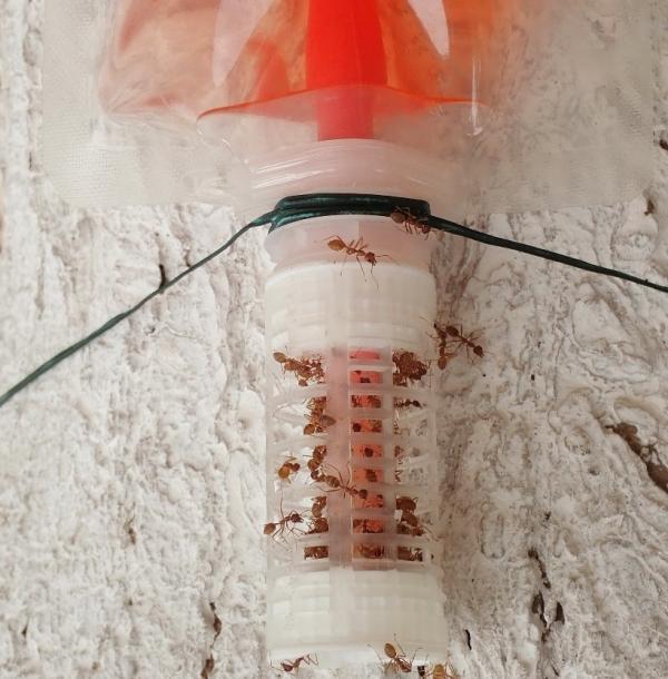 Fourmis tisserandes collectant de la solution sucrée sur un nourrisseur © A. Chailleux, Cirad