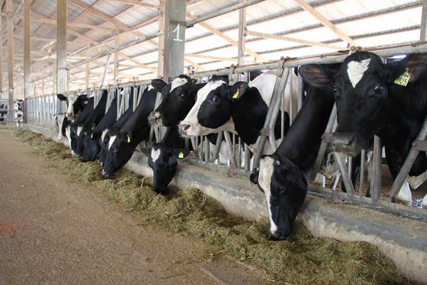 Dairy herd on the VN FutureMilk farm north of Hanoi (2013) - Jean-Daniel Cesaro, CIRAD