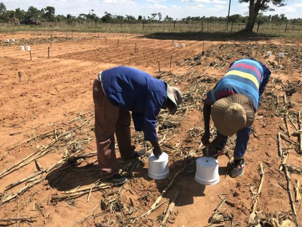 La mesure des émissions de N2O est techniquement compliquée car fortement liées à des évènements ponctuels comme la pluie ou la fertilisation. Ici, elles sont mesurées au Zimbabwe sur des essais de réduction du travail du sol et d'apports de résidus de culture © R. Cardinael, Cirad