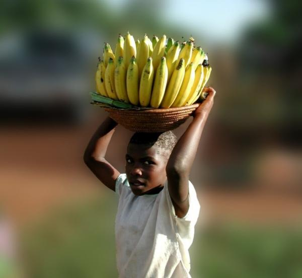 La Fusariose TR4 menace les exploitations de bananes partout dans le monde © Régis Domergue, Cirad