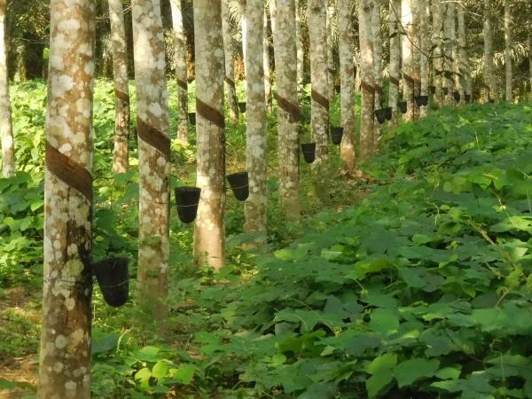 Production de caoutchouc naturel par saignée sur un hévéa © V. Leguen, Cirad