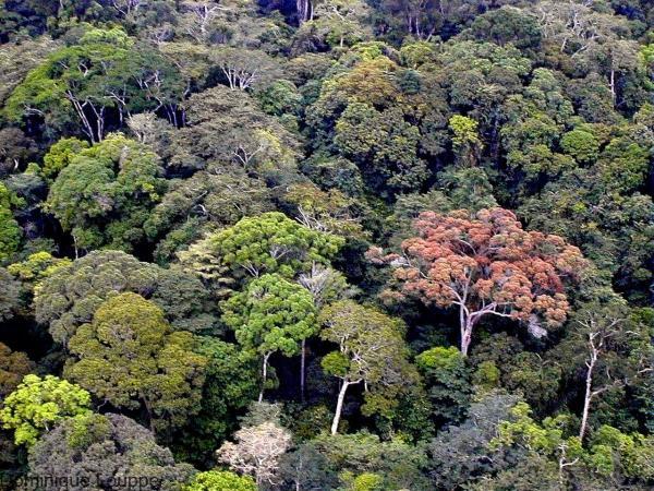 Vue aérienne, canopée forestière tropicale - Gabon © Cirad, D. Louppe