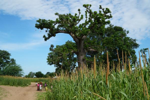 Le Cirad coordonnera treize projets issus des trois appels du programme européen DeSIRA qui seront menés en Afrique de l'Ouest et à Madagascar sur les questions de sécurité alimentaire, d'agroécologie et de santé animale. Photo : Culture agroécologique d'arachide au Sénégal. © Cirad, C. Dangléant