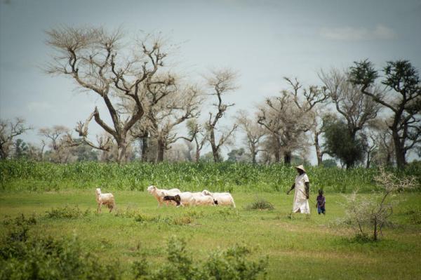 Pour le Cirad, la lutte contre la dégradation des forêts et des terres au Sahel passe nécessairement par la mobilisation des populations locales et la prise en compte leurs besoins © R. Belmin, Cirad