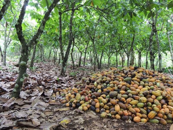 Récolte dans une cacaoyère ivoirienne © P. Jagoret, Cirad