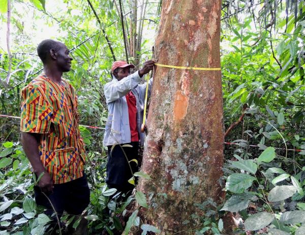 Measuring the circumference of a tree of another species in a cocoa-based agroforestry planting in Cameroon, to calculate its basal area © CIRAD, J-M. Harmand