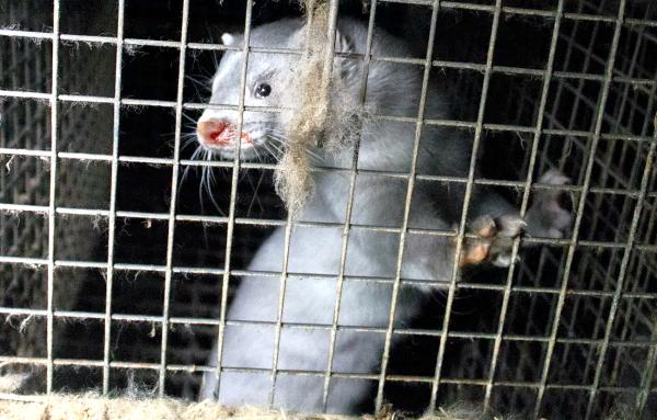 Un vison en captivité. Oikeutta eläimille / Flickr, CC BY-SA