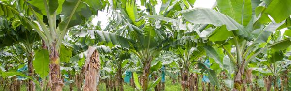 Banana plantation © Marylène, Adobe Stock