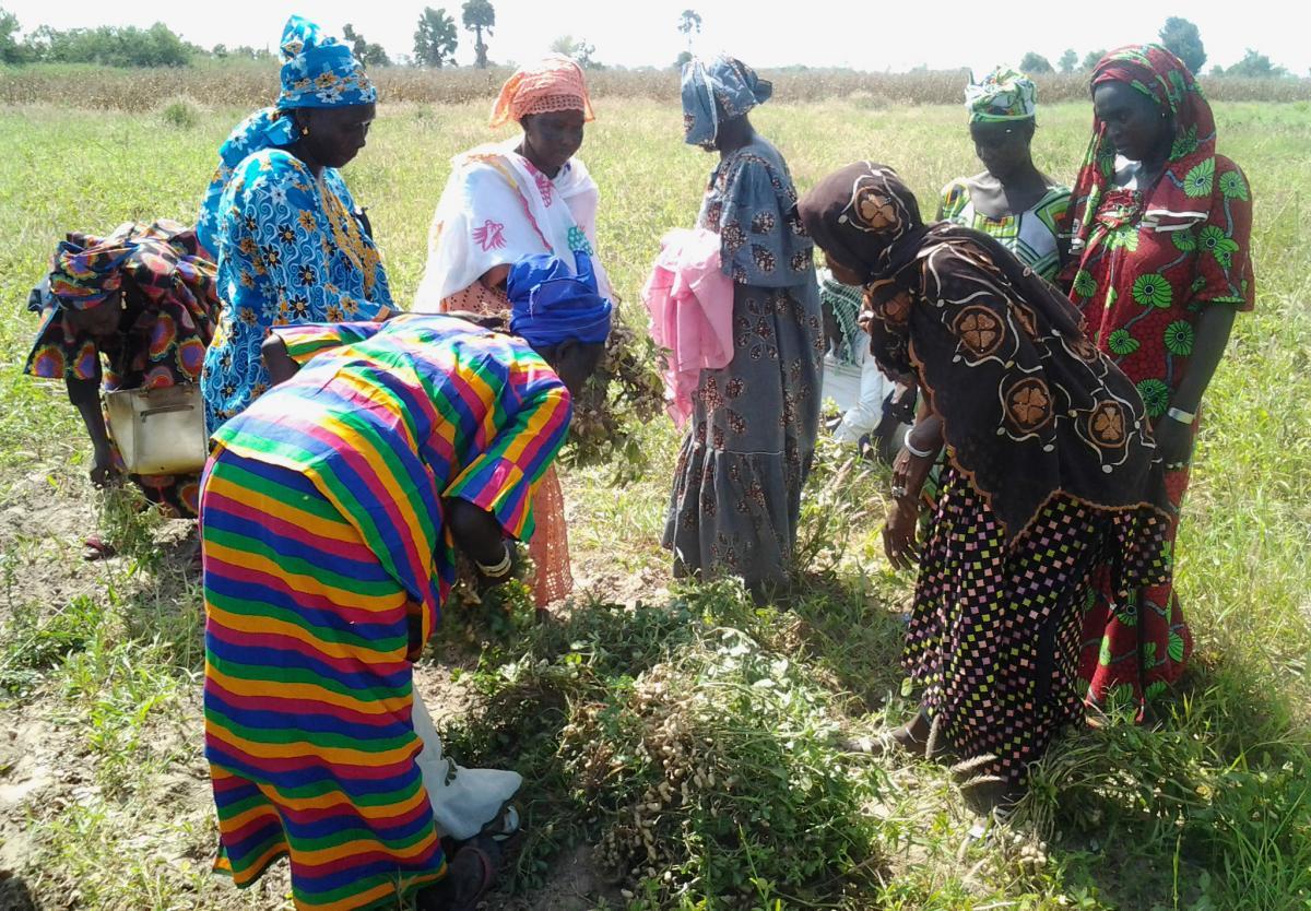 Productrices d'arachide de la région de Fatick (Sénégal) visitant des parcelles de démonstration de nouvelles variétés d'arachide  © Hodo-Abalo Tossim
