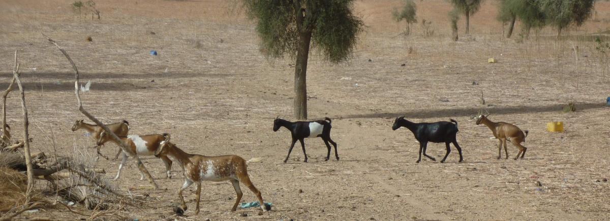 Peste des petits ruminants. © Cirad