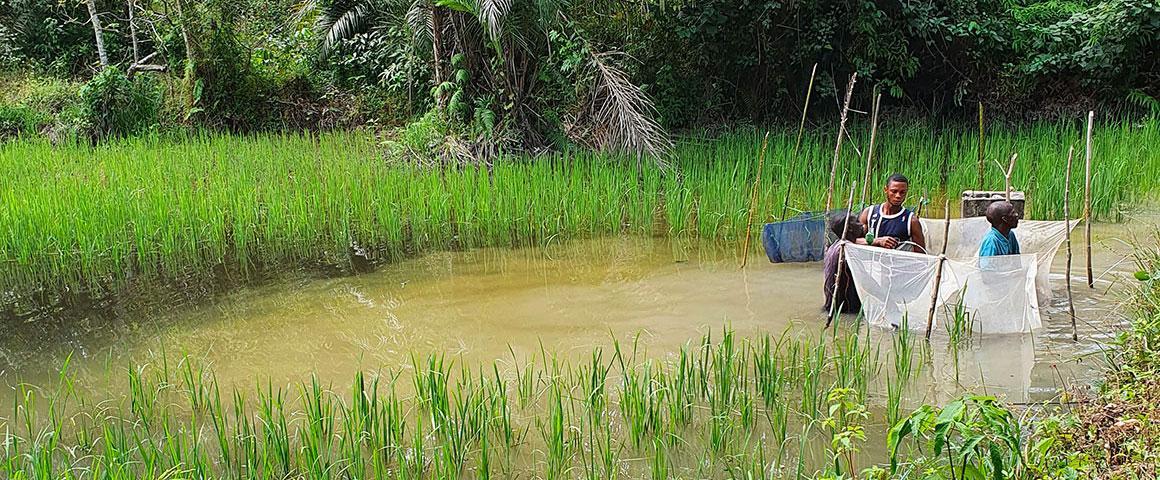 """Pisciculture en étang de tilapia. Guinée Conakry"""".  © L. Fertin-ISEM"""