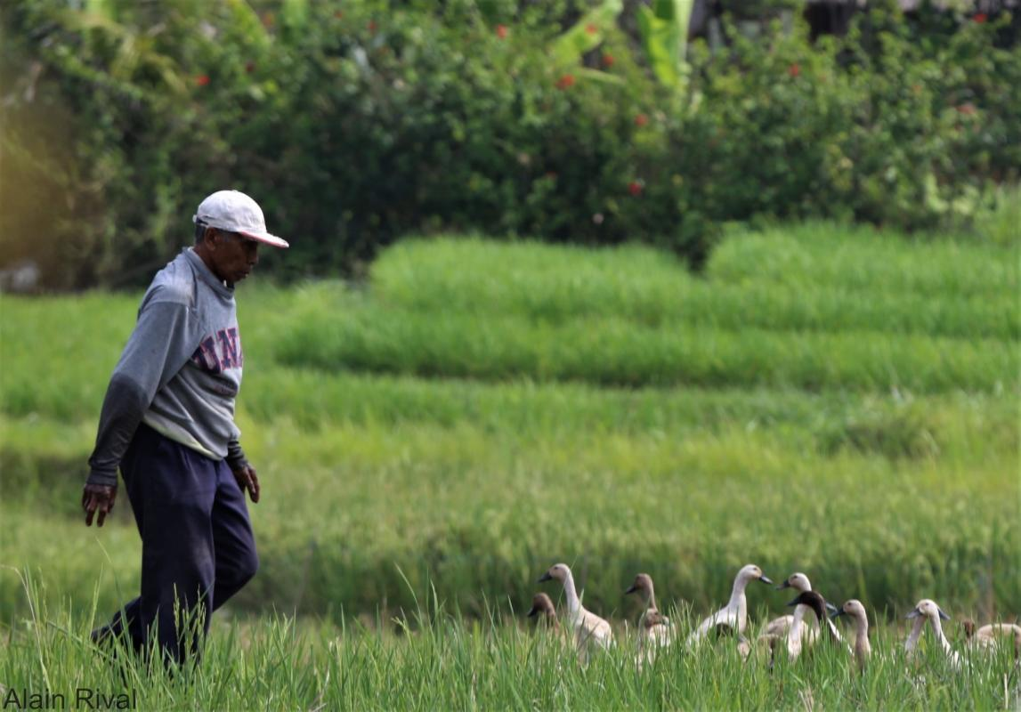 Certain agroecological methods consist in combining crops and livestock. Here, a traditional duck farm alongside rice paddies in Bali (Indonesia) © A. Rival, CIRAD