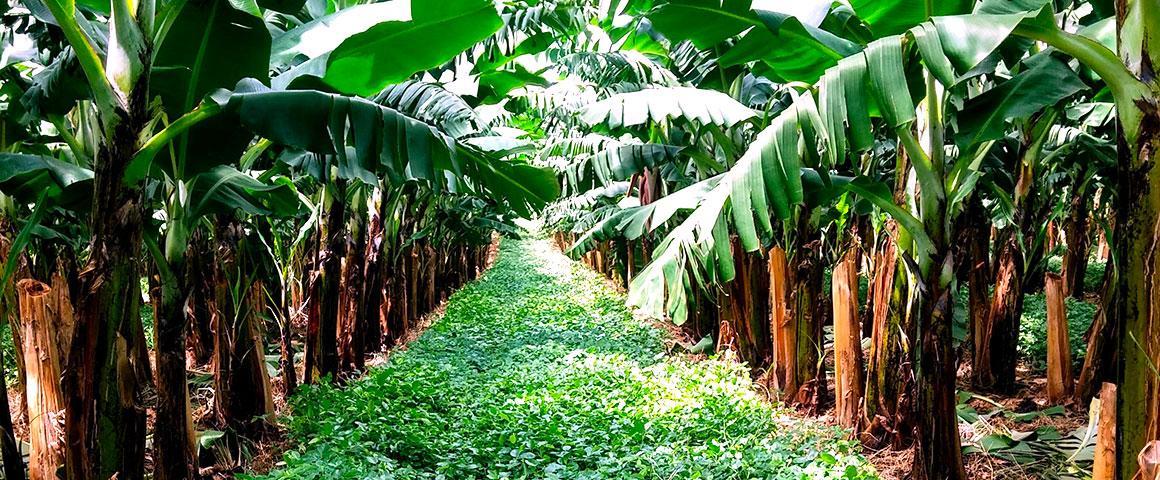 Bananiers associés au Desmodium Ovalifolium, Guadeloupe. ©  H. Tran Quoc, Cirad