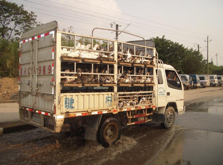 Transport de volailles vivantes vers les marchés de grossistes dans la province chinoise du Guangxi © Cirad, Marisa Peyre