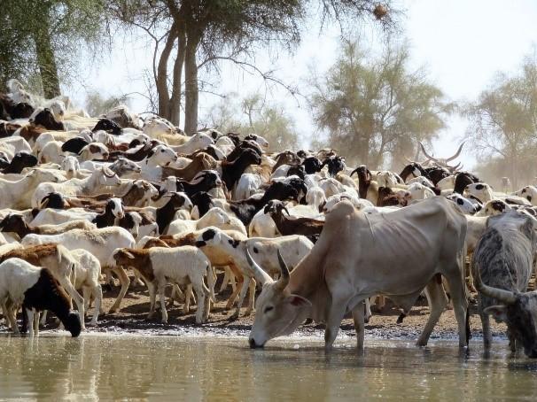 Troupeau mixte de moutons et de zébus s'abreuvant dans une mare en début de saison des pluies (Ferlo, Sénégal) © S. Taugourdeau, Cirad