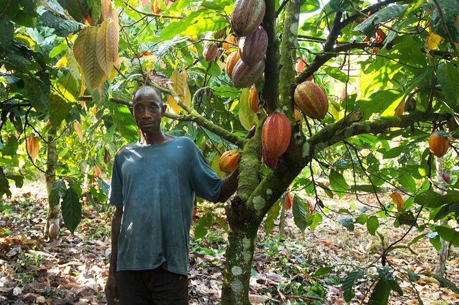 Les contraintes liées au Covid-19 font naître chez les planteurs de cacao de Côte d'Ivoire de nombreuses inquiétudes quant à leurs revenus issus de la cacaoculture. © Frédérique Causse, Cirad