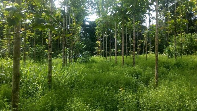 Parcelle de tecks de 2 ans avec couvert herbacé de légumineuse (Stylosanthes guianensis) © E-A. Nicolini, Cirad