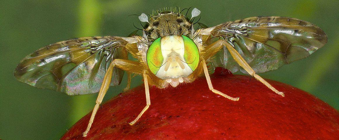 Ceratitis catoirii mâle sur fruit de goyavier.  © A. Franck, Cirad