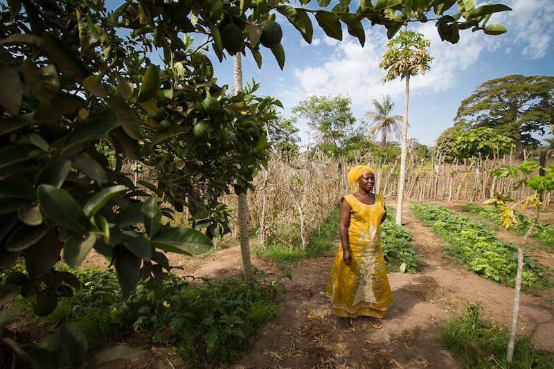 Une maraîchère de Casamance dans sa parcelle horticole associant l'arboriculture fruitière (agrumes, manguiers, papaye) et le maraîchage (oignon, choux, aubergine amère, etc.). Ce type de système utilise l'eau avec efficience : chaque goutte d'eau d'irrigation non-utilisée par les cultures alimente les racines sous-jacentes des arbres © R. Belmin, Cirad