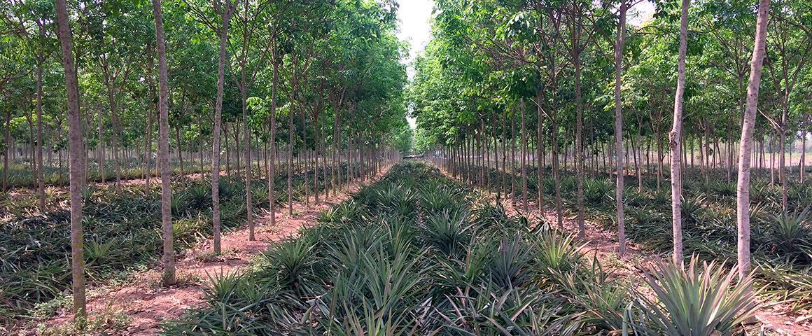 Association d'ananas avec des hévéas en phase immature au sein de parcelles villageoises en Thaïlande © A. Thomazeau, Cirad