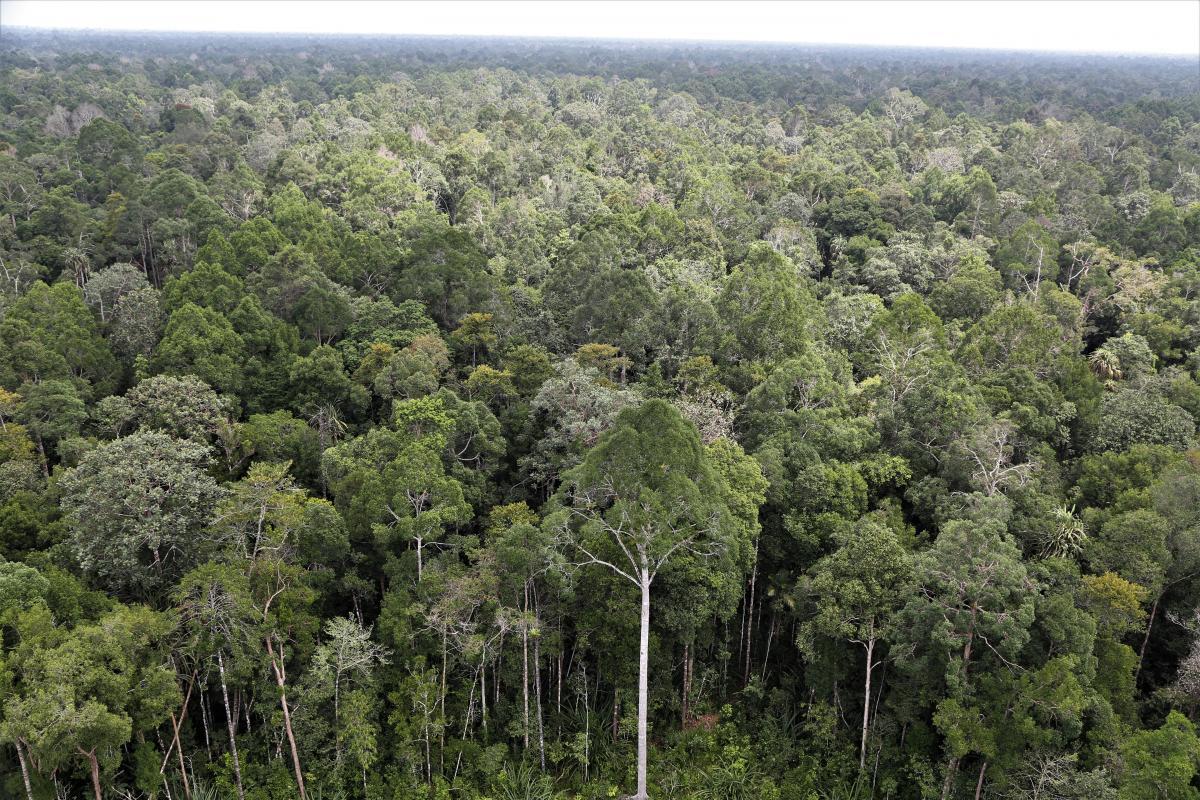 La zone ASEAN abrite le troisième massif forestier tropical mondial, après l'Amazonie et le bassin du Congo. L'enjeu de ce nouveau projet Cirad-AFD est d'accompagner la transition agroécologique des grandes filières de plantations tropicales, afin de réduire leur impact sur la biodiversité et aider à lutter contre la déforestation dans cette région © A. Rival, Cirad