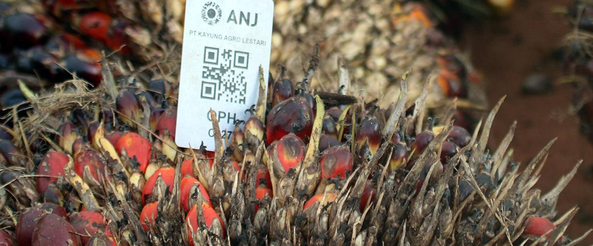 Régimes de palmier à huile ANJ, Indonésie. © Alain Rival, Cirad