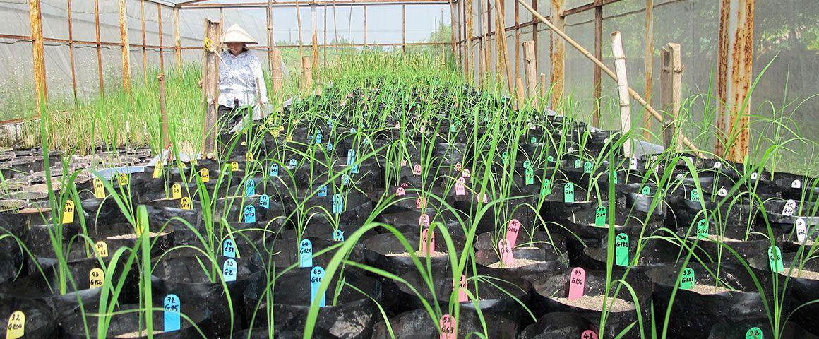 Phénotypage de 200 variétés de riz au Vietnam © P. Gantet