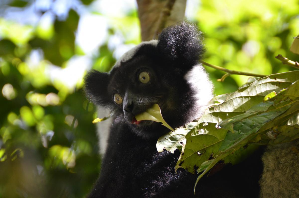 Lémurien Indri Indri à Madagascar © G. Vieilledent, Cirad