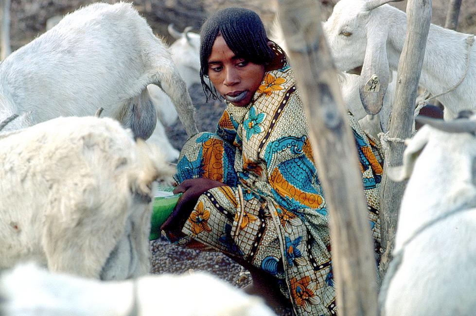 Traite des chèvres au Tchad @ Cirad, B. Faye