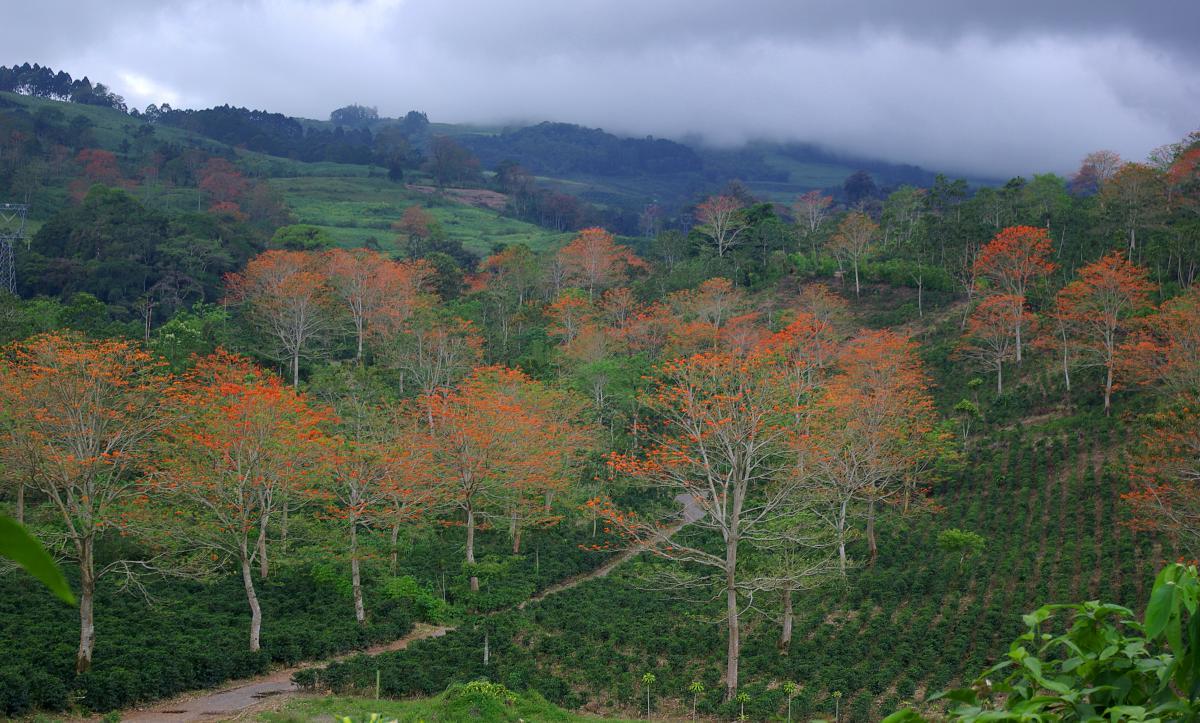 Plantation de café en système agroforestier d'Aquiares, Costa Rica © O. Roupsard, Cirad