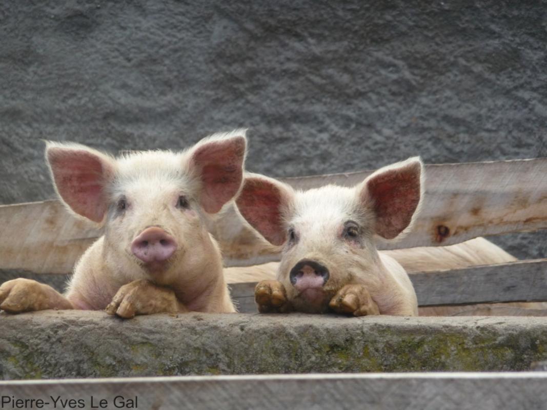 Plus de 60 % des nouvelles maladies infectieuses émergent de l'animal. © PY Le Gal, Cirad