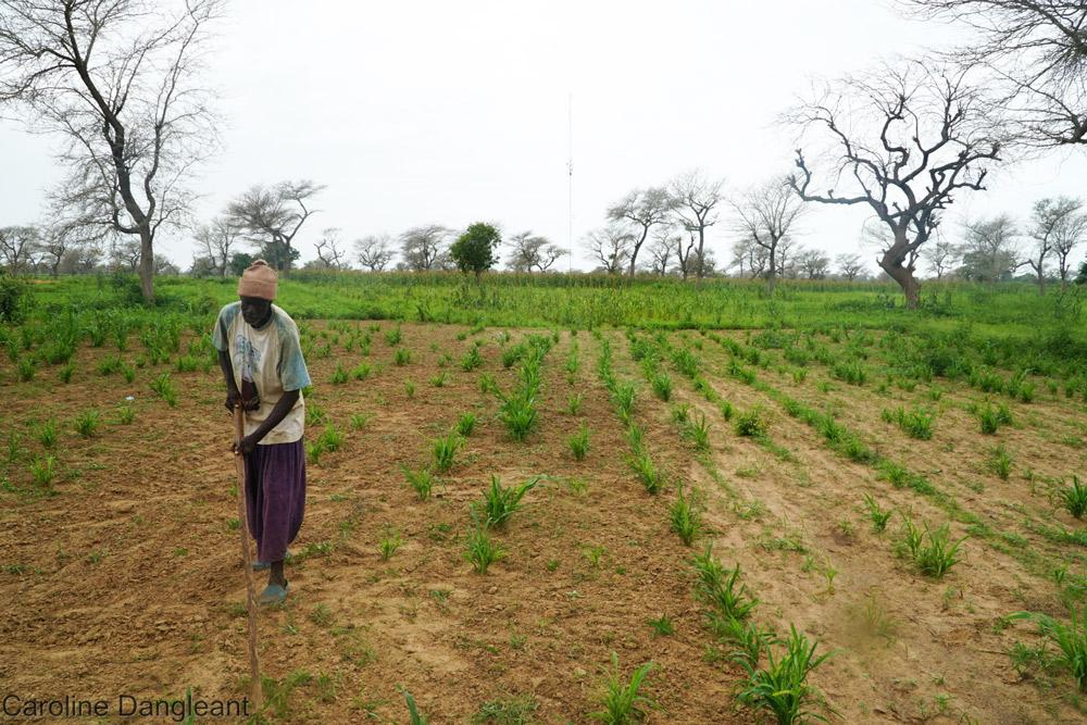 Mil cultivé en agroforeterie, une pratique agroécologique à développer au Sahel © C. Dangléant, Cirad