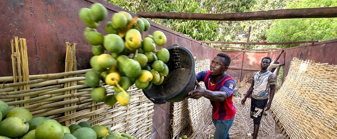 L'horticulture est désormais considérée comme une composante essentielle de la sécurité et de l'équilibre alimentaire et nutritionnel mondial. Ici, des mangues en Afrique de l'Ouest © R. Belmin, Cirad