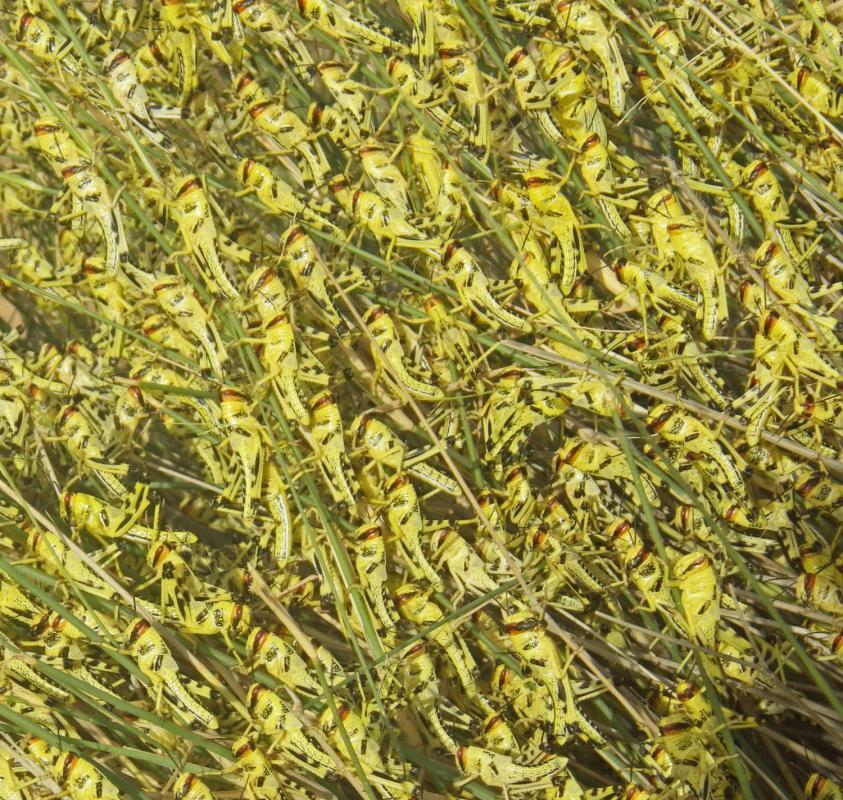 Desert locusts © D.R.