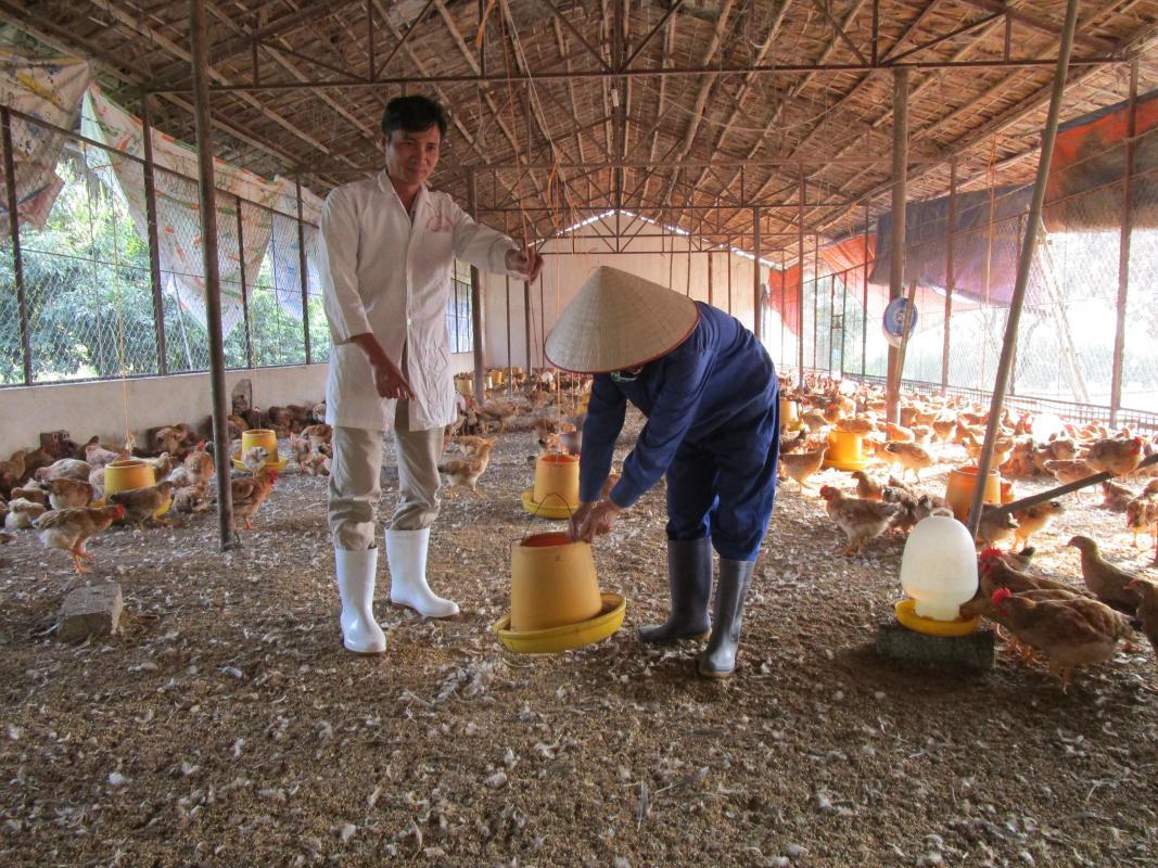 Elevage de poulets au Vietnam. © Nguyen Van Dai