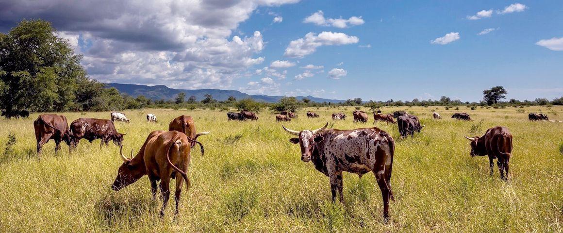 Elevage bovin àMucheni, au Zimbabwe (SWM Programme) ©Brent Stirton-Getty Images for FAO, CIFOR, CIRAD, WCS