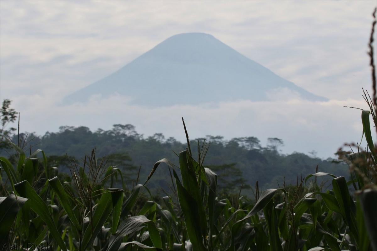 Plantation de maïs sur fond de forêt, Bali, Indonésie © Alain Rival, Cirad