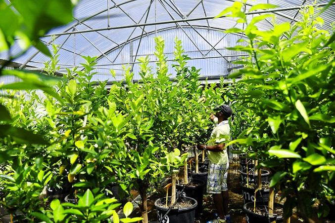 Production of citrus plants according to the CAC standard © R.Carayol, CIRAD