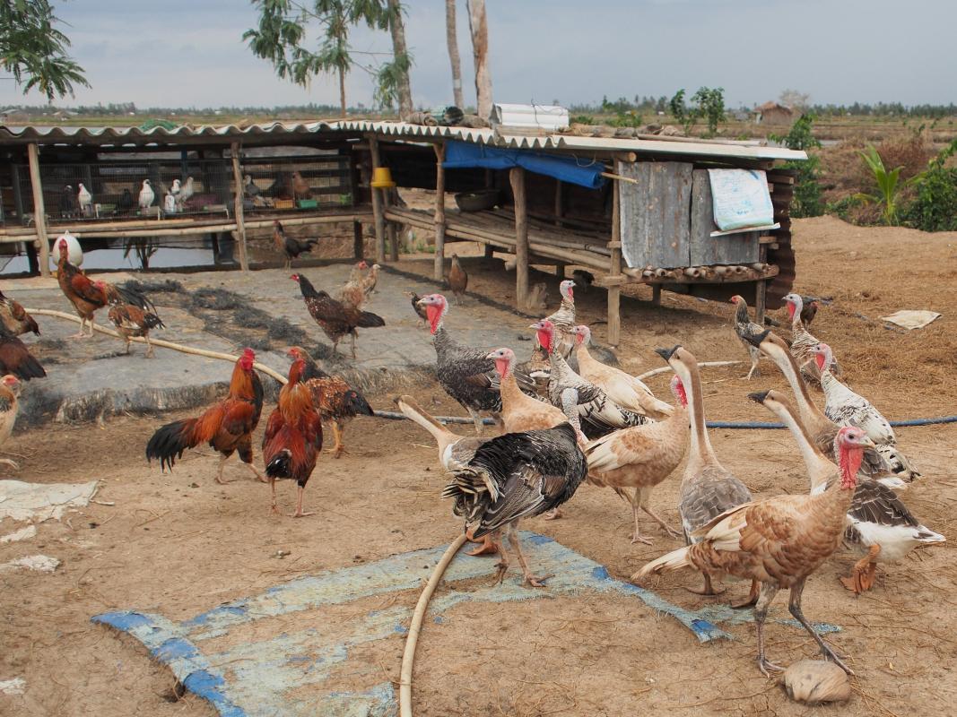 Les élevages de petite échelle nécessitent peu d'investissement et sont une source de revenu complémentaire pour les ménages ruraux. Les races locales ou croisées utilisées dans ces élevages sont appréciées des consommateurs © Maciej Boni, Université de Pennsylvanie aux Etats-Unis