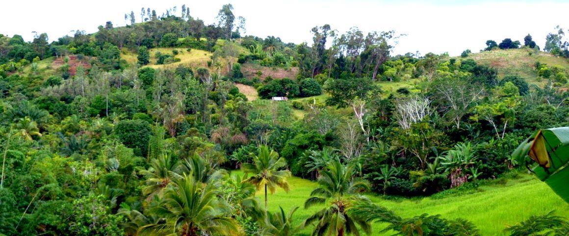 Clove tree-based agroforestry systems in Madagascar © E. Penot, CIRAD