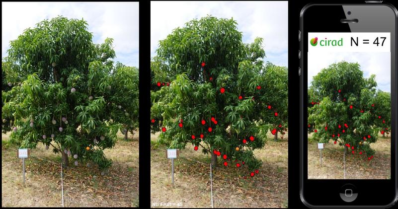 Le système de reconnaissance d'image mis au point par les chercheurs compte le nombre de mangues sur un arbre en seulement 0,3 s @ Cirad