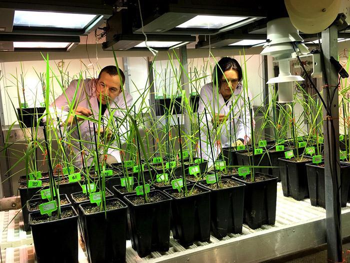 Une chercheuse et un chercheur du Cirad travaillent dans une serre du centre de recherche à Montpellier.