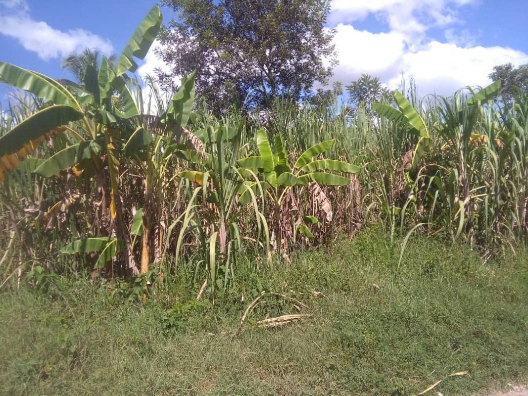 Associations de cultures (ici canne-banane) pour faire face à la variabilité et au changement climatique © B. Paul, Université Quisqueya