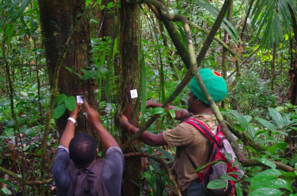 Sur la station forestière du Cirad à Paracou en Guyane française, les mesures des 70000 arbres réalisées depuis 40 ans ont fourni un précieux jeu de données à l'étude © A. Dourdain, Cirad